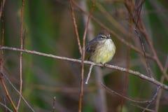Певчая птица Townsends стоковая фотография