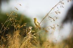 2 певчей птицы на ветви Стоковая Фотография RF