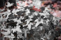 Пейзаж леса падения в красном селективном цвете с дубом плюща и клена листает Стоковые Фотографии RF