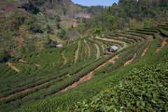 Пейзаж плантации зеленого чая на горе Стоковое Изображение