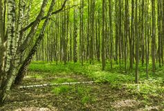 Пейзаж тропы леса на солнечный летний день весны с деревьями и зеленым цветом травы живыми выходит на ветви на парке ботанический Стоковое Фото