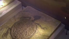 ПЕКИН, КИТАЙ - 30-ОЕ ОКТЯБРЯ 2018: ископаемые остатки старой черепахи в части земного утеса видеоматериал
