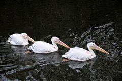 3 пеликана на предпосылке темной воды Стоковые Фотографии RF