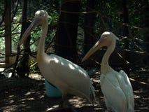 пеликаны белые Парк сафари Курорт Kabardinka Чёрного моря Россия стоковое изображение rf