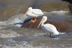 пеликаны белые Стоковое Изображение RF