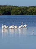 пеликаны белые Стоковые Изображения