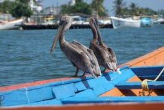 Пеликаны Брайна в карибском море рядом с тропическим раем плавают вдоль побережья стоковые фотографии rf