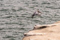 Пеликаны Брайна приземляясь над Тихой океан Океанией на утес Стоковая Фотография RF