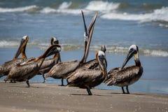 Пеликаны Брайна стоя на пляже Техаса стоковая фотография