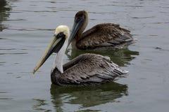 Пеликаны Брауна на Марине стоковые изображения