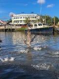 Пеликаны в заболоченном рукаве реки стоковое изображение