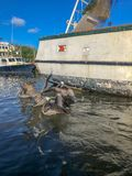 Пеликаны в заболоченном рукаве реки стоковая фотография rf