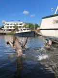Пеликаны в заболоченном рукаве реки стоковое изображение rf