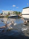 Пеликаны в заболоченном рукаве реки стоковое фото rf