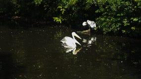 Пеликаны в зоопарке Москвы видеоматериал