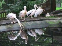 Пеликаны в ЗООПАРКЕ Эдинбурга в Шотландии стоковые фотографии rf