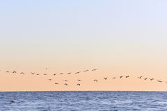 Пеликаны в небе над водой Стоковая Фотография