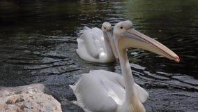 Пеликаны в озере зоопарка видеоматериал