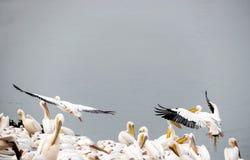 Пеликаны в остатках во время миграции на защищенном озере стоковое изображение rf