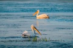 Пеликаны в перепаде Румынии Дуная на восходе солнца стоковые фотографии rf