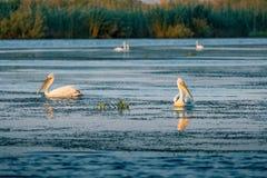 Пеликаны в перепаде Румынии Дуная на восходе солнца стоковое изображение