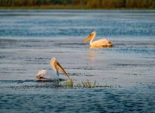 Пеликаны в перепаде Румынии Дуная на восходе солнца стоковые фото