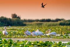 Пеликаны в перепаде Dunarii Румынии перепада Дуная стоковые фотографии rf
