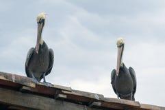 Пеликаны ждать и наблюдая для обеда стоковые изображения rf