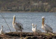 Пеликаны и гусыни на малом острове в озере стоковые изображения rf