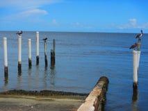 Пеликаны и птицы моря стоя на пристанях стоковые изображения rf
