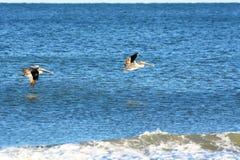 Пеликаны летают низкая над бечевником пляжа острова на красивый день острова стоковые изображения