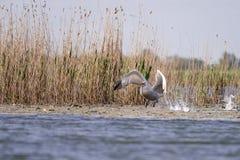 Пеликаны летая в перепад Дунай, наблюдать птицы живой природы Румынии стоковое изображение rf