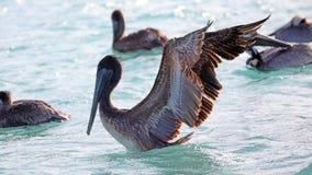 Пеликаны летая над морем в Майами, удя в береге на прибо-береге пока охотящся для еды стоковая фотография rf
