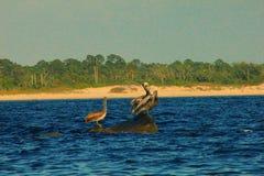 Пеликаны Мексиканского залива сидя на утесах живописных стоковое изображение