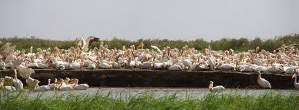 пеликаны национального парка djoudj стоковое фото