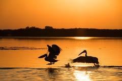 Пеликаны на восходе солнца в перепаде Дуная стоковые изображения rf