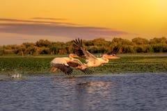 Пеликаны на заходе солнца в перепаде Дунай стоковые фотографии rf