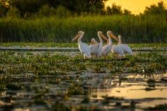 Пеликаны на заходе солнца в перепаде Дуная, Румыния стоковое фото rf