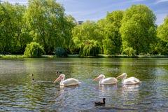 Пеликаны на озере стоковое фото