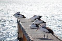 Пеликаны на пристани стоковые фото