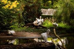 Пеликаны на пруде в зоопарке стоковые фотографии rf