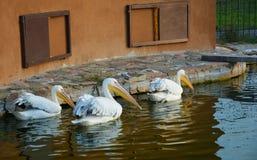 Пеликаны на пруде стоковое фото