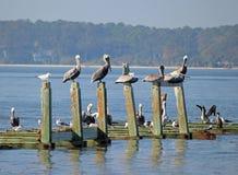 Пеликаны на старых штабелевках в гавани стоковое изображение rf