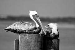 Пеликаны отдыхая на штабелевке реки стоковая фотография
