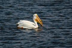 пеликаны пар белые стоковые фото