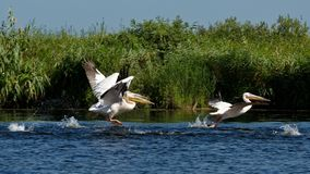пеликаны перепада danube стоковое фото
