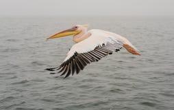 пеликаны полета большие белые стоковое фото rf