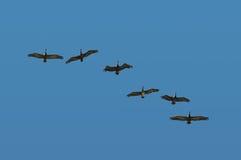 пеликаны полета Стоковое фото RF