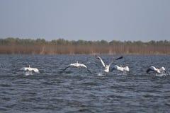 пеликаны полета Стоковая Фотография