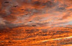 пеликаны полетов стоковая фотография